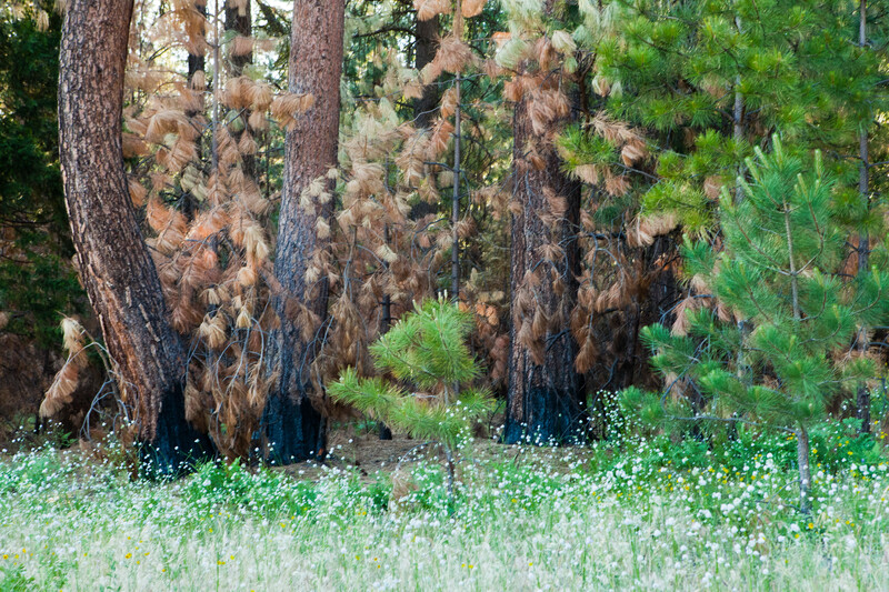 Tree trunks with burn scars surrounded by green grass and trees