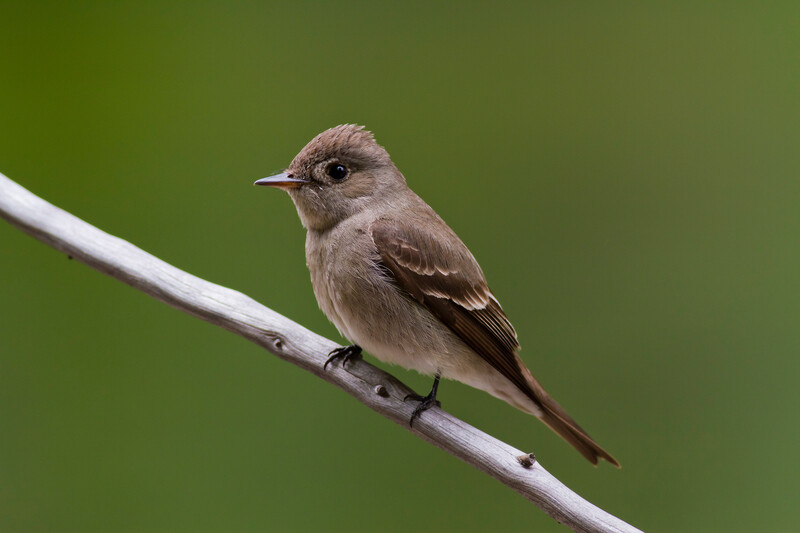 A western wood pee-wee on a branch